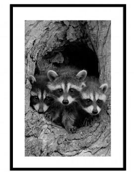 Cuadro mapaches colección...