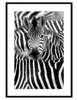 Cuadro zebras colección...